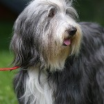 Cilla, bearded collie
