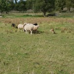 Cattledog 5 mån. träffar får tillsammans med en erfaren vallhund.